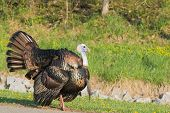 pic of wild turkey  - Wild turkey strutting for a mate in the spring mating season - JPG