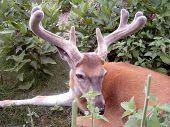 foto of buck  - A whitetail buck  - JPG