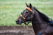 foto of horse-breeding  - Horse racing is a type of testing horses on playfulness  - JPG