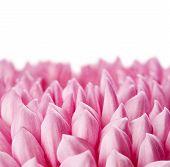 picture of chrysanthemum  - Beautiful pink chrysanthemum flower isolated on white background - JPG