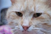 stock photo of judas  - zoomed angry face of moustached foxy cat - JPG