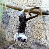 image of titi monkey  - Monkey titi cotton - JPG