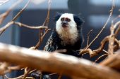 stock photo of titi monkey  - Monkey white - JPG