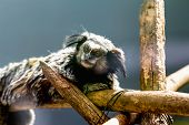 picture of titi monkey  - Monkey black - JPG