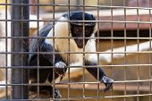image of marmosets  - Monkey looking through the zoo cell grille - JPG