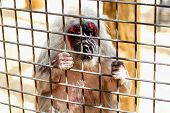 stock photo of marmosets  - Monkey looking through the zoo cell grille - JPG