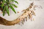 stock photo of monocots  - The roots of the screwpine Pandanus tectorius in a tropical island - JPG