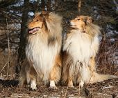 foto of scotch  - Two beautiful scotch collies sitting in the forest - JPG