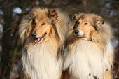 image of scotch  - Two beautiful scotch collies sitting in the forest - JPG
