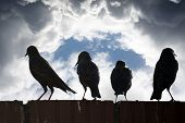 stock photo of wall cloud  - silhouette of starlings on a wall against a stormy clouds - JPG