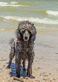 picture of poodle  - Silvery small poodle on a beach after swimming in the sea on a summer day - JPG