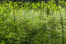 foto of horsetail  - dew drops glisten in the needles of horsetail early summer morning - JPG