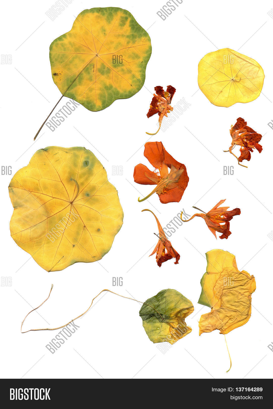 How to scrapbook dried flowers - Pressed And Dried Flowers Petal Leaves Of Blossom Nasturtium Isolated On White Scrapbook Background