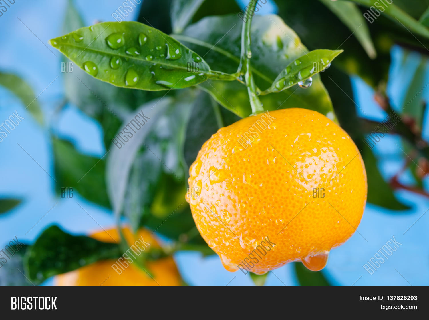 Sweet Citrus Orange Mandarin Fruits Branch In The Garden Summer Time  With Hot Citrus Orange Mandarin Fruits Branch In The Garden Summer Time Photo Orange  Tree With Cool Crystal Palace Gardens Also Garden Birds Uk Identify In Addition Old Street To Covent Garden And Billy Joel At Madison Square Garden As Well As Hatton Garden Opening Times Additionally Garden Stepping Stones Uk From Bigstockphotocom With   Hot Citrus Orange Mandarin Fruits Branch In The Garden Summer Time  With Cool Citrus Orange Mandarin Fruits Branch In The Garden Summer Time Photo Orange  Tree And Sweet Crystal Palace Gardens Also Garden Birds Uk Identify In Addition Old Street To Covent Garden From Bigstockphotocom