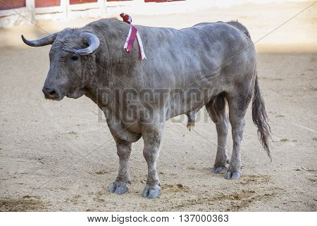 Ubeda SPAIN - September 29 2010: Capture of the figure of a brave bull of hair color ash in a bullfight Spain