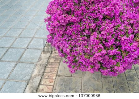 Pink bougainvillea flowers and cement floor background
