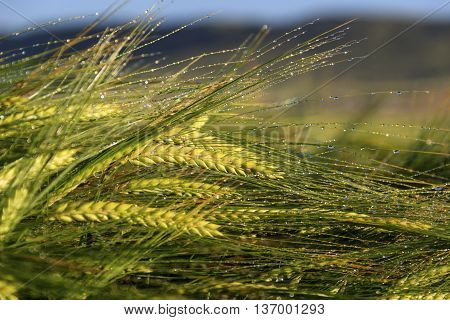 Springtime. Ears of cereal wheat wrapped in dew.Italy,Apulia.