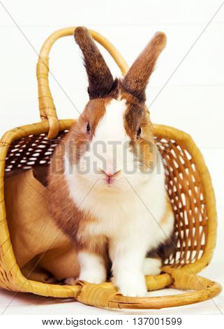 Spotted bunny in a straw basket on white wooden background