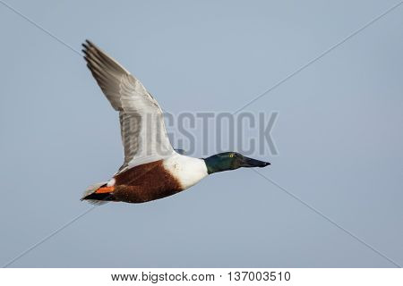 Male Northern Shoveler (Anas clypeata) in flight in full breeding plumage.