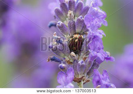 Rosemary Beetle (Chrysolina americana) taking refuge on lavender.
