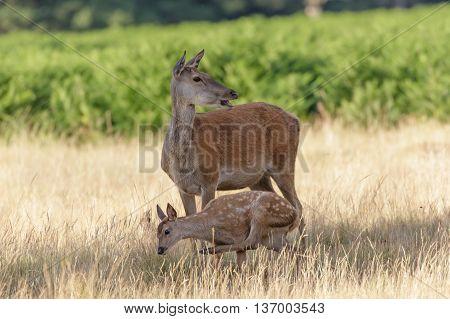 Red Deer (Cervus elaphus) mother and calf having a scratch.