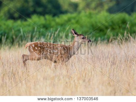 Red Deer calf (Cervus elaphus) running through long grass in summer.