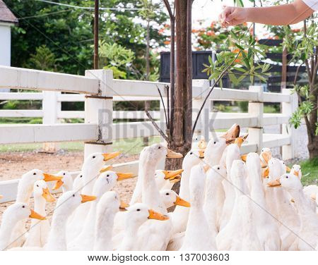 Hand Feeding and Dropping food for big group of white ducks in local farm.