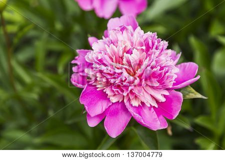 Pink peony flower in the garden, summer