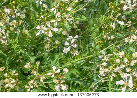 natural background of arugula (eruca sativa), flowers and grass in a sunny day