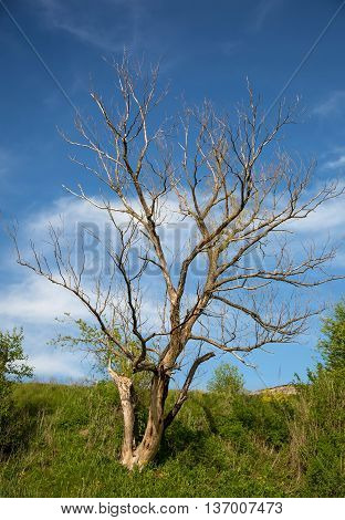 Lonely dry tree at hot summer day