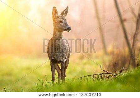 Wild roe deer lit by early morning sun