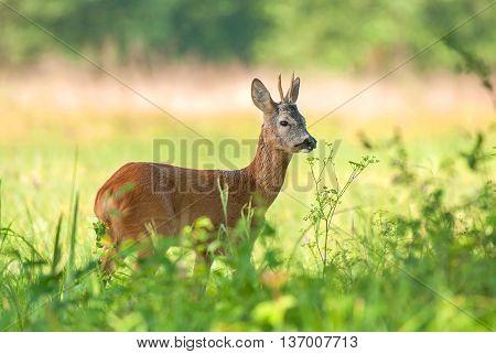 Wild roe deer (Capreolus capreolus) standing ina field