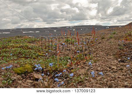 The Putorana Plateau. Forget-me-nots among the stones.