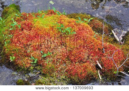 Stream and moss on hummocks. Brightly colored moss that grows in the bed of a tundra stream.