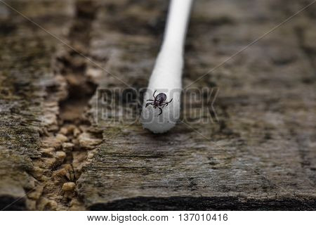 tick on the swab photo closeup wood background