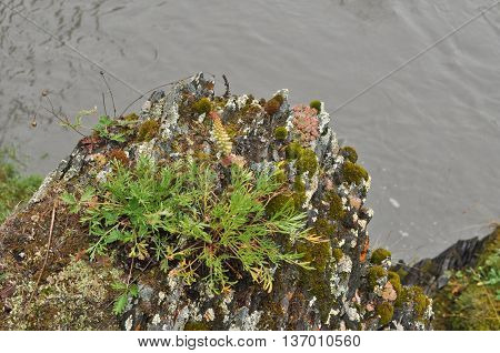 Saxifrage. Sparse vegetation of Yakutia sometimes reminiscent of exotic plants in the tropics.