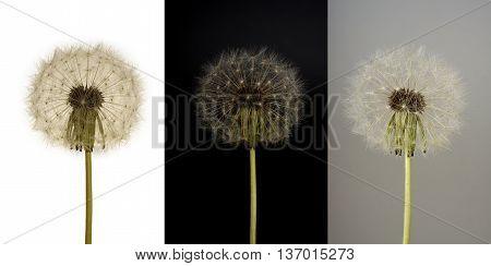 flower dandelion white on white black and gray background
