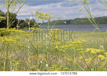 Yellow head and seeds of a poisonous Wild Parsnip weed growing alongside a country road. During much of July, August and early September wild parsnip is one of the most visible yellow-flowered weeds in roadside ditches, public recreation areas, around spo