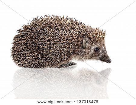 side face of one hedgehog sits on white background