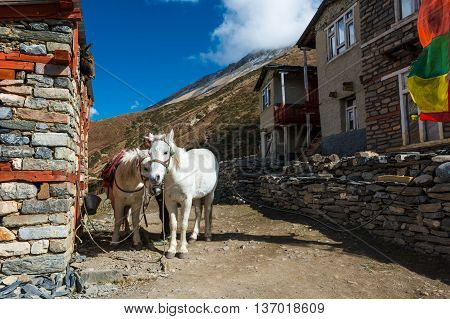 Pair of white mountain horses. Animals ready to carry weary trekkers along Annapurna trek.