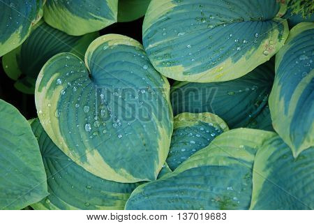 Nature background hosta funkia in macro with water drops