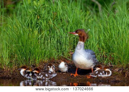 The elegant gray-bodied female Common Merganser have rich, cinnamon heads with a short crest. This one is seen while resting and swimming with her chicks on a Lac Creux in northern Quebec Canada.