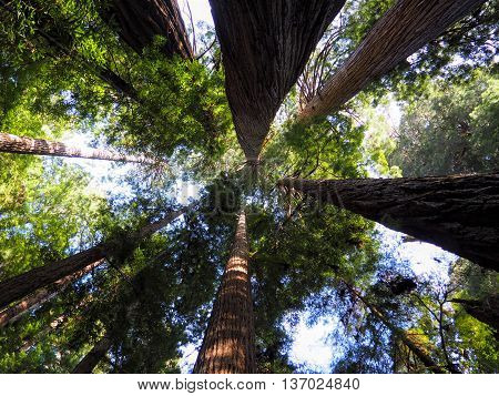 Looking Up in the Giant Redwood National Forest