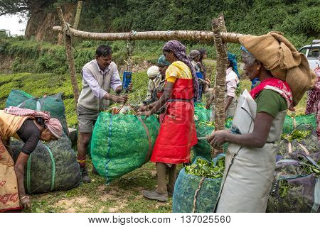 Munnar, India, - January 7, 2016: Women with fresh tea leafs in the basket at tea plantations of Munnar, India