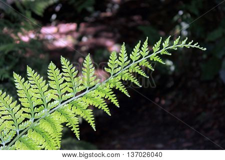 close up of a New Zealand fern frond