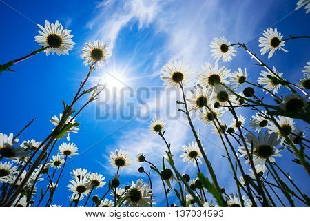 Daisies on a background of Sunny sky.