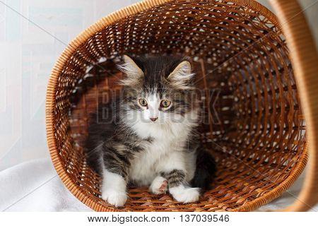 Cute pet kitten hiding in a wicker basket.