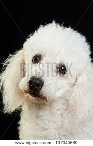white poodle dog portrait looking in camera