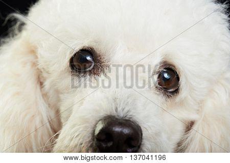 Close Of Poodle Face