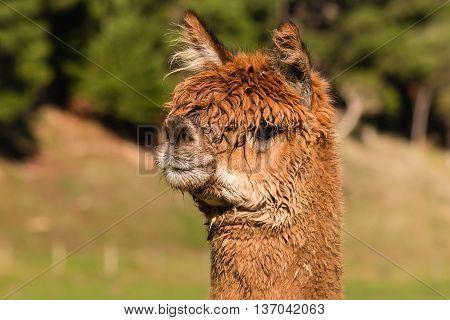 close up of alert suri alpaca head